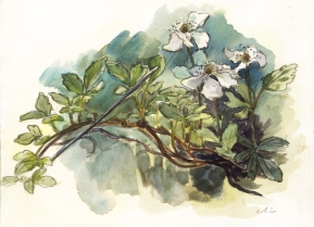 blackberryblossoms_watercolor