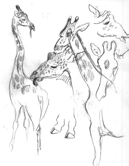 dallaszoo_feb16_giraffs